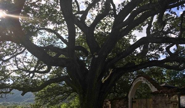 дърво в Насалевци
